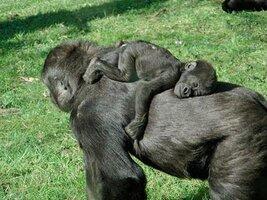 fotos-de-animales-durmiendo-bebe-gorila.jpg