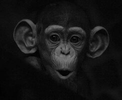 ximpance animales-blanco-negro-1.jpg